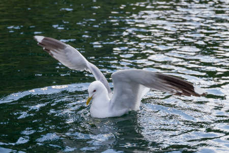 Seagull is landing on a water surface.