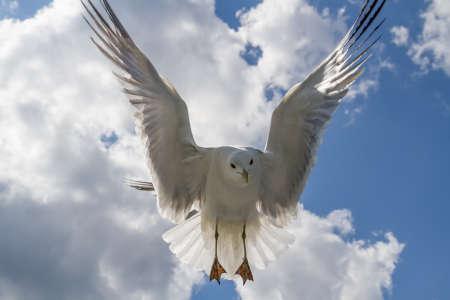 Seagull in flight in blue cloudy sky.