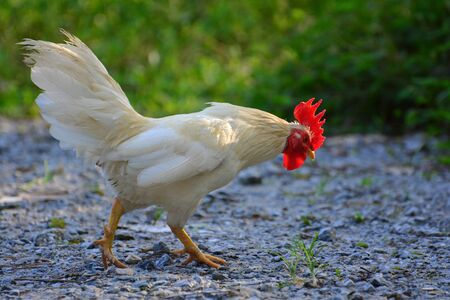 Beautiful Rooster  (Gallus Gallus) on nature background Stock Photo