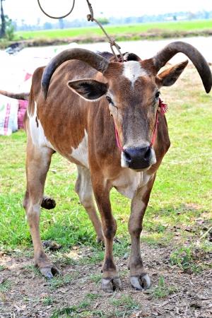 holsteine: Cow