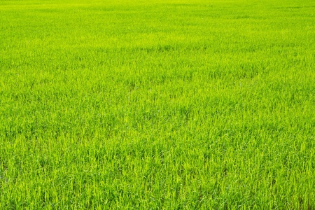 Green view of paddy rice field photo