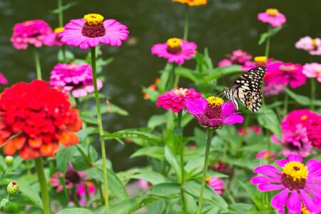 Isolate zinnia with butterfly which teared wings photo