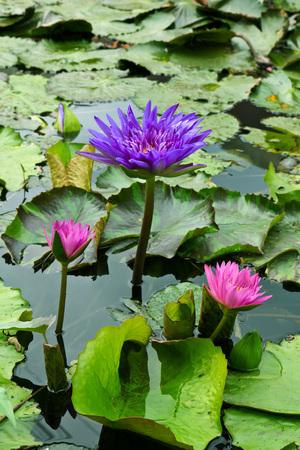 lotus photo