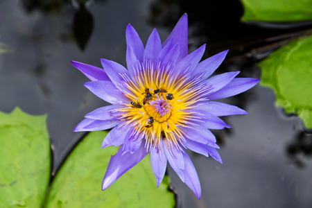 Lotus and bee photo