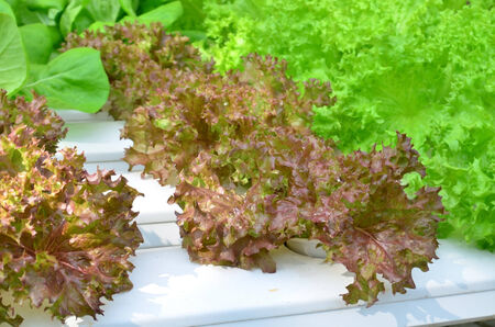 Hydroponic vegetable in farm photo