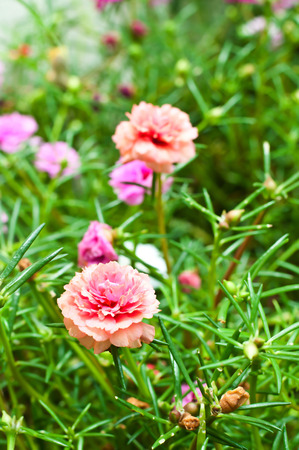 Portulaca flowers at the garden in morning photo