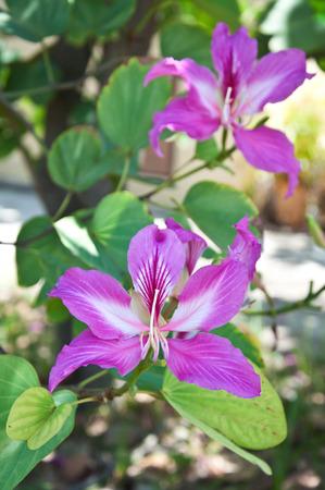 orchid tree: Purple Orchid Tree