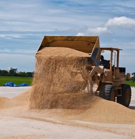 skid steer: Skid steer loaders moving paddy