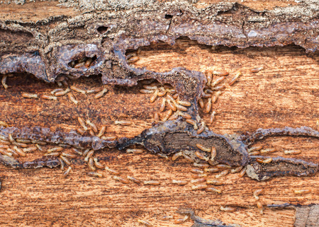 Close up termites on wood