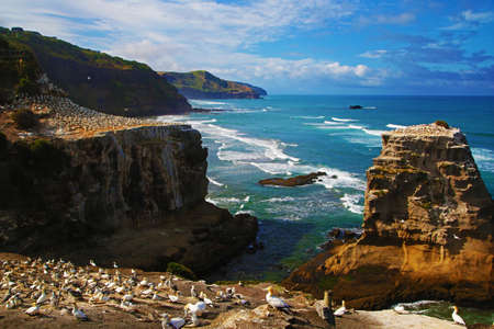 Colony of australasian gannets in New Zealand 写真素材
