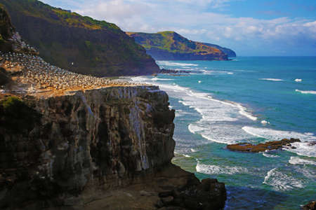 New Zealand coast with colony of gannets