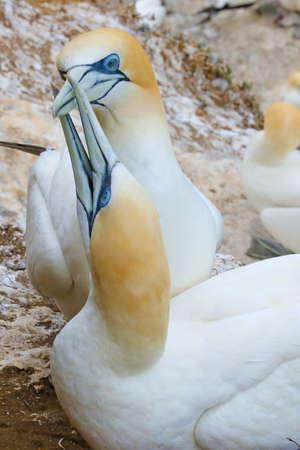 Pair of australasian gannets at nest