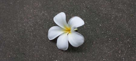 plumeria flower: White plumeria flower drop on the ground.