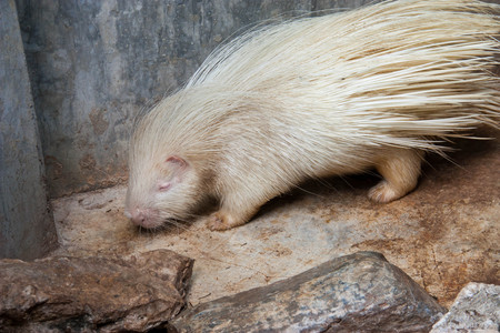 characterised: Albino Cape porcupine. Albinism in animals is considered to be a hereditary condition characterised by the absence of pigment in the eyes, skin, hair, scales, feathers or cuticles. Stock Photo