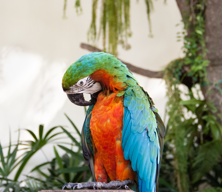 macaw: Macaw Parrot is grooming