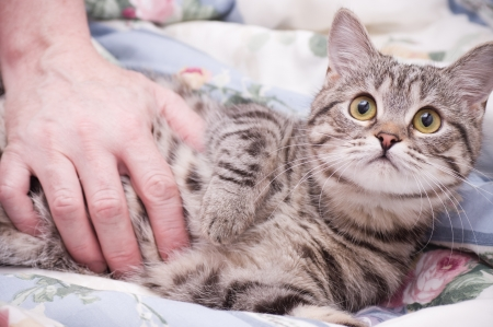 adroitness: Human hand pets a Scottish-straight gray beautiful cat