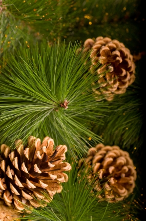 Beautiful color Christmas pine cone on green branches photo