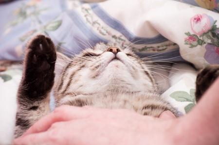 adroitness: Human hand pets a Scottish-straight gray beautiful cat