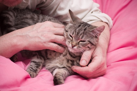 Human hand pets a Scottish-straight gray beautiful cat Stock Photo - 17932364