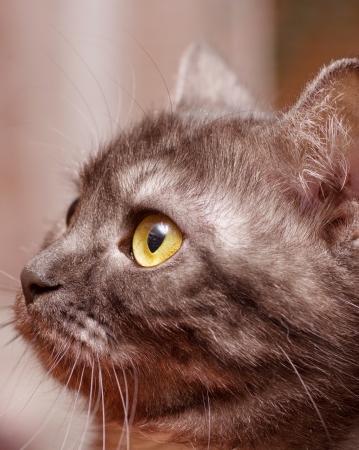 adroitness: Scottish-straight gray beautiful cat