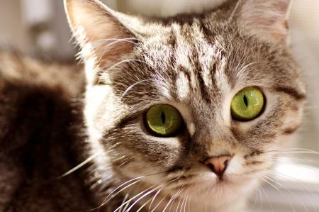 スコットランド ストレート灰色の美しい猫 写真素材