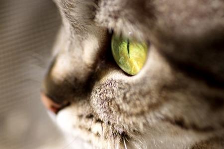 スコットランド ストレート グレーの美しい猫 写真素材