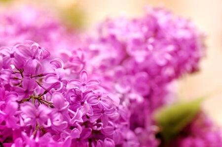 庭の美しい花ライラック