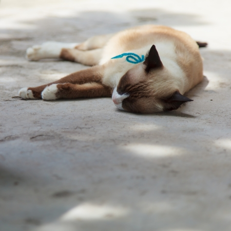 Thai cat is sleeping on the ground