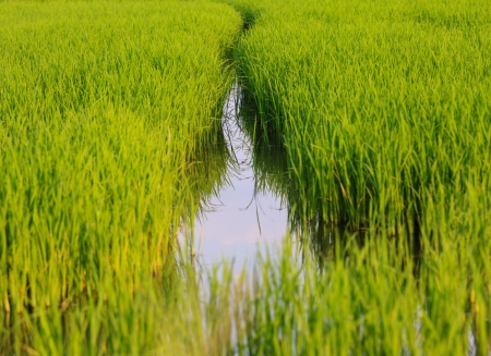 Paddy Rice field green grass in Thailand Stock Photo