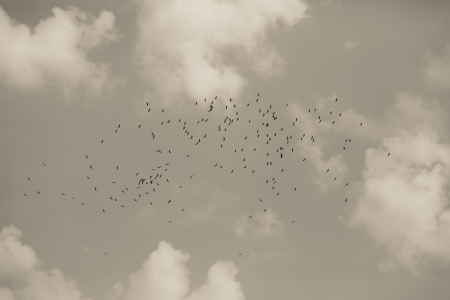 flock of birds in the sky,Thailand Stock Photo