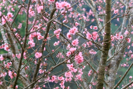 Prunus cerasoides or Cherry blossom in Doi-Angkang, Thailand Stock Photo