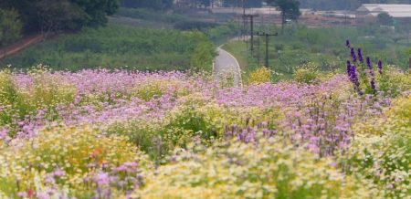 Road behide the chamomile field, Chiangmai, Thailand Stock Photo