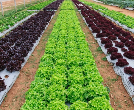 Growing lettuce in rows in the vegetable garden