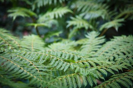 Bush of lush fern in the forest