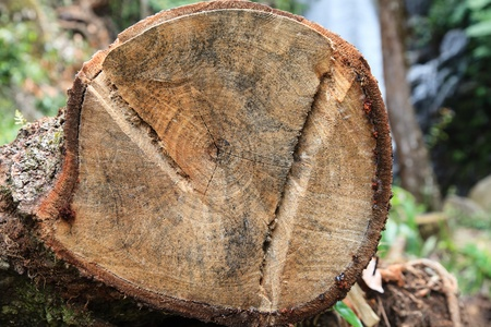 cracked stump in the forest, in Thailand Stock Photo
