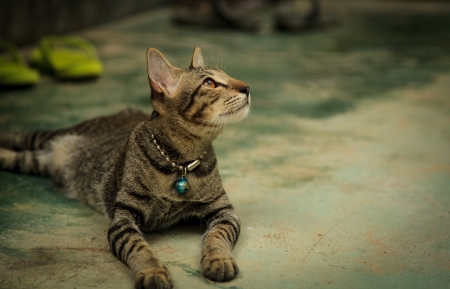 Thai cat on the groung is watching something