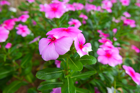 Periwinkle Flowers Stock Photos And Images - 123RF