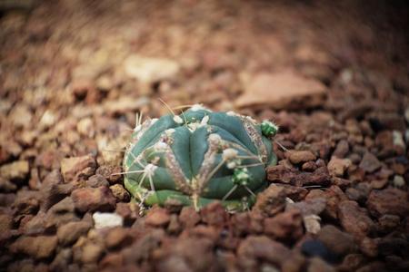 Cactus in garden has a brown stone around, Cacti, Cactaceae, Succulent, Tree, Drought tolerant plant.