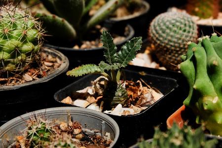 Dorstenia crispa, Succulent, Cactus, Cacti, Cactaceae, Tree, Drought tolerant plant.