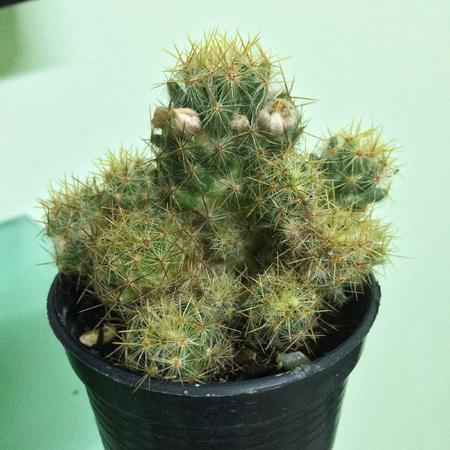 Mammillaria prolifera have white flower, cactus on pot, cacti, cactaceae, succulent, plant, tree.