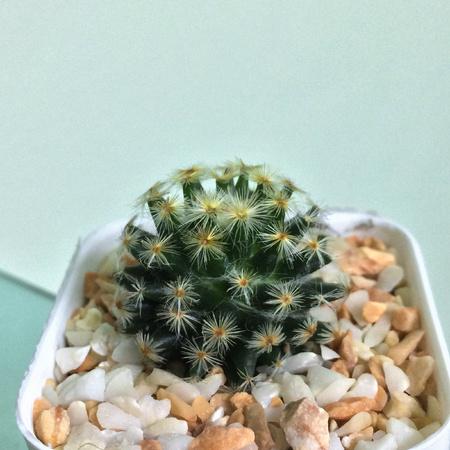 Mammillaria schiedeana, Cactus on pot, Succulent, Cacti, Cactaceae, Tree, Drought tolerant plant.