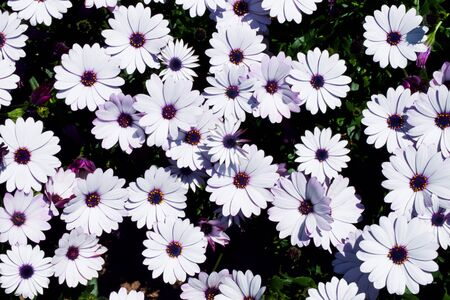 White daisy flowers field (African daisy or Osteospermum ecklonis or Cape marguerite). Top view (flat lay) Banco de Imagens