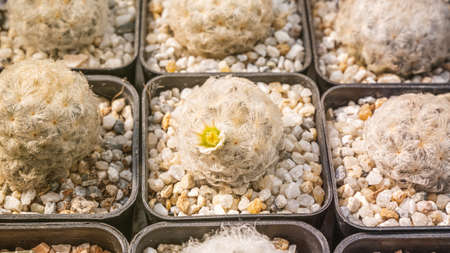 Cactus flowers, Mammillaria plumosa with white flower is blooming on pot, Succulent, Cacti, Cactaceae, Tree, Drought tolerant plant. Stock Photo