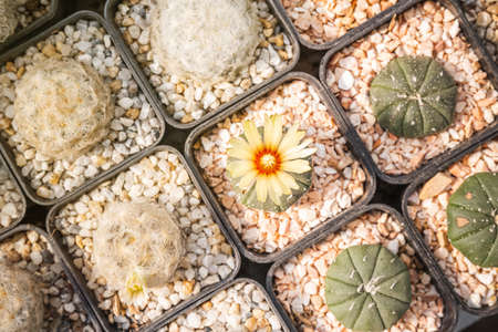 Cactus flowers, Astrophytum asterias with yellow flower is blooming on pot, Succulent, Cacti, Cactaceae, Tree, Drought tolerant plant. Stock Photo