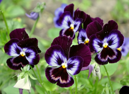 Violet Pansy closeup on blurred background