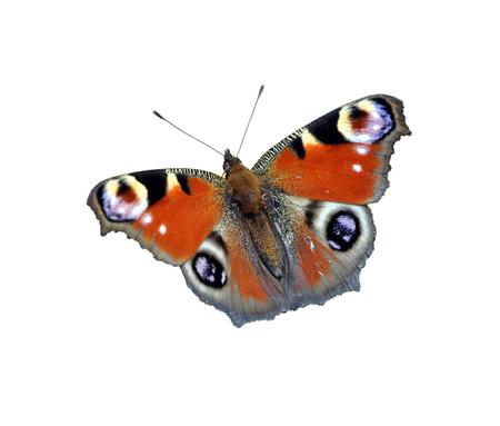 Farfalla isolare su sfondo bianco. Pavone Europeo Archivio Fotografico - 92531393