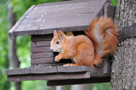 Red squirrel with fluffy tail sitting on feeder nibbles nuts