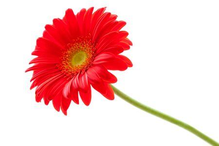 Gerbera: Red Gerbera Flower