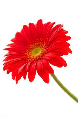 Red Gerbera-Blume