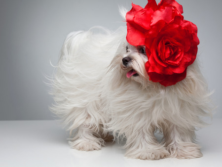 maltese dog: Funny dog. Maltese dog with red bow on head Stock Photo